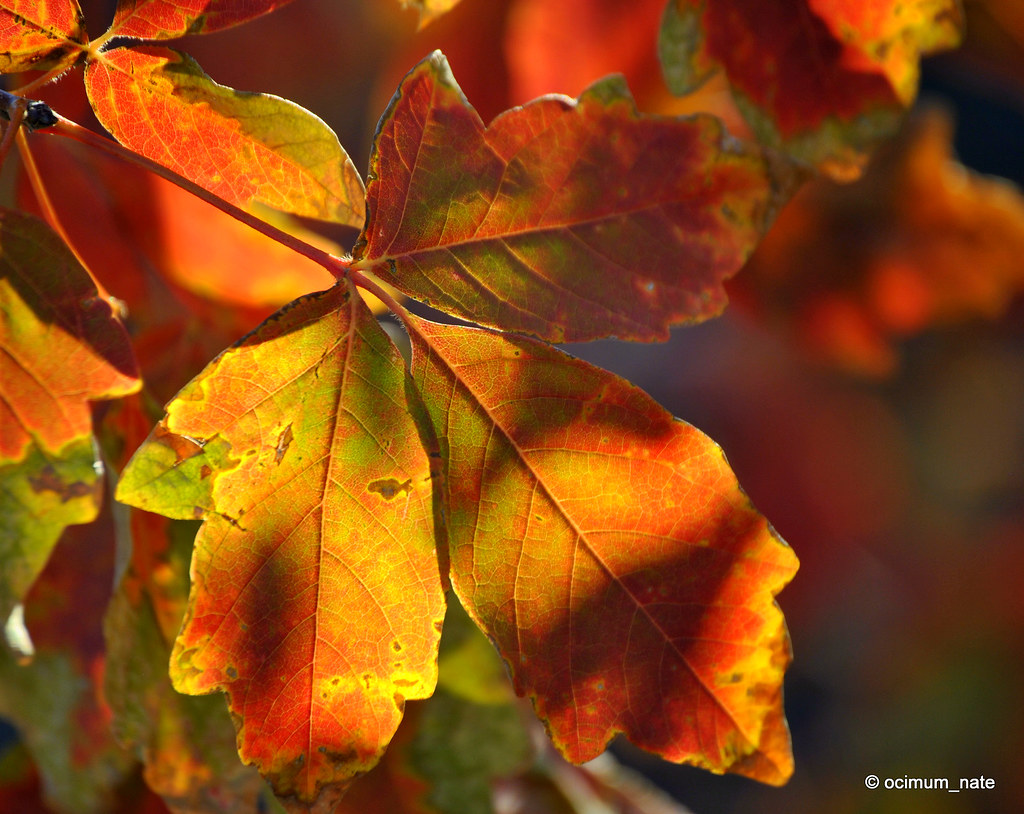 Paperbark Maple   If you want to use any of my pictures plea…   Flickr