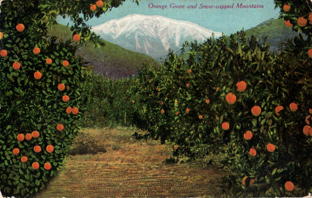 Orange grove John Olsen Flickr