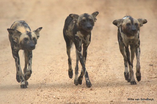 The three Wild Dogs | by Willievs