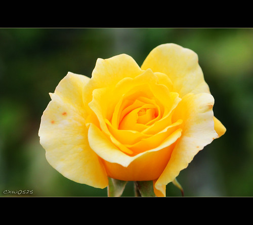 Rose | by Dalang55555
