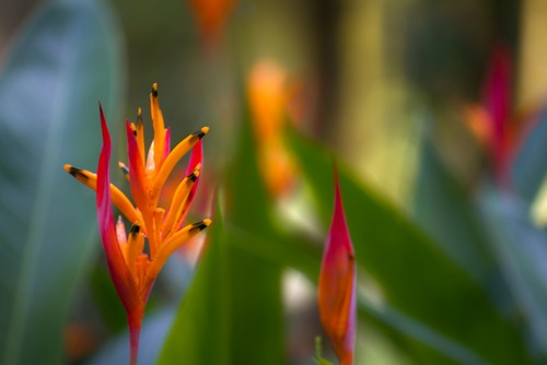 Bird of Paradise | by carsem00