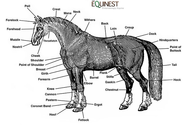 Basic horse anatomy