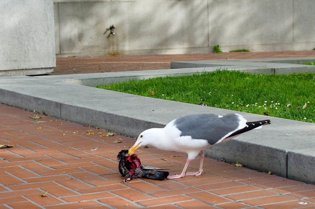 sea gull eating pigeon