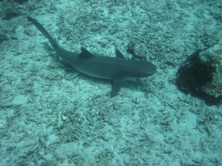 gray reef shark | by seendreeming