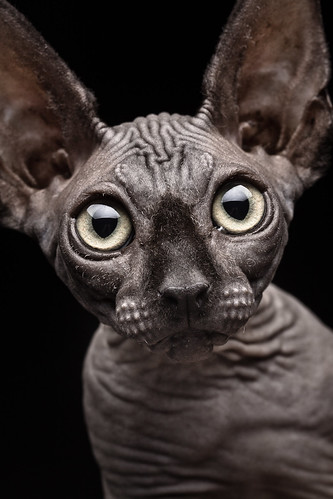 Sphynx Cat | by Patrick Matte