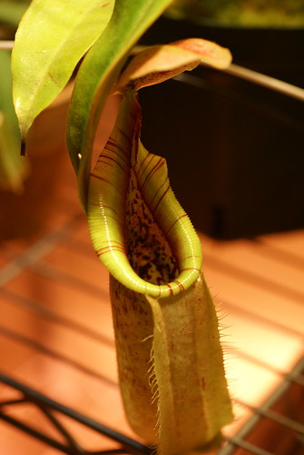 Nepenthes veitchii x rafflesiana | by i-saint