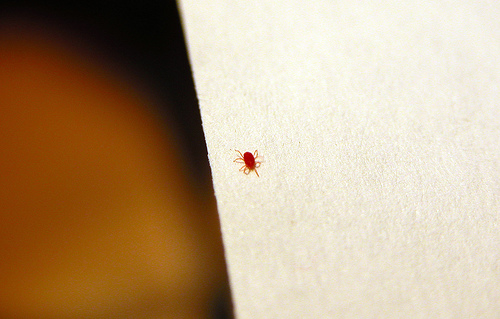 Tiny red insect bug wtf is this it was crawling arond for Are bed bugs red
