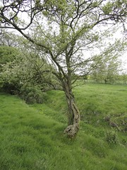Blackthorn and Hawthorn | by James's GW Blog