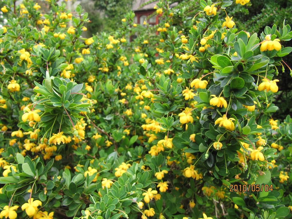 berberis buxifolia 39 nana 39 leonora ellie enking flickr. Black Bedroom Furniture Sets. Home Design Ideas