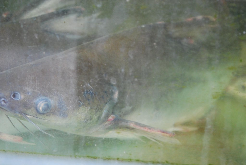 Patin fish pak su pangasius same family as the basa for What kind of fish is basa
