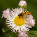Hoverfly On Fleabane In May