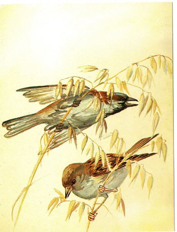 Edith Holden Quot House Sparrows And Oats Quot From Quot The