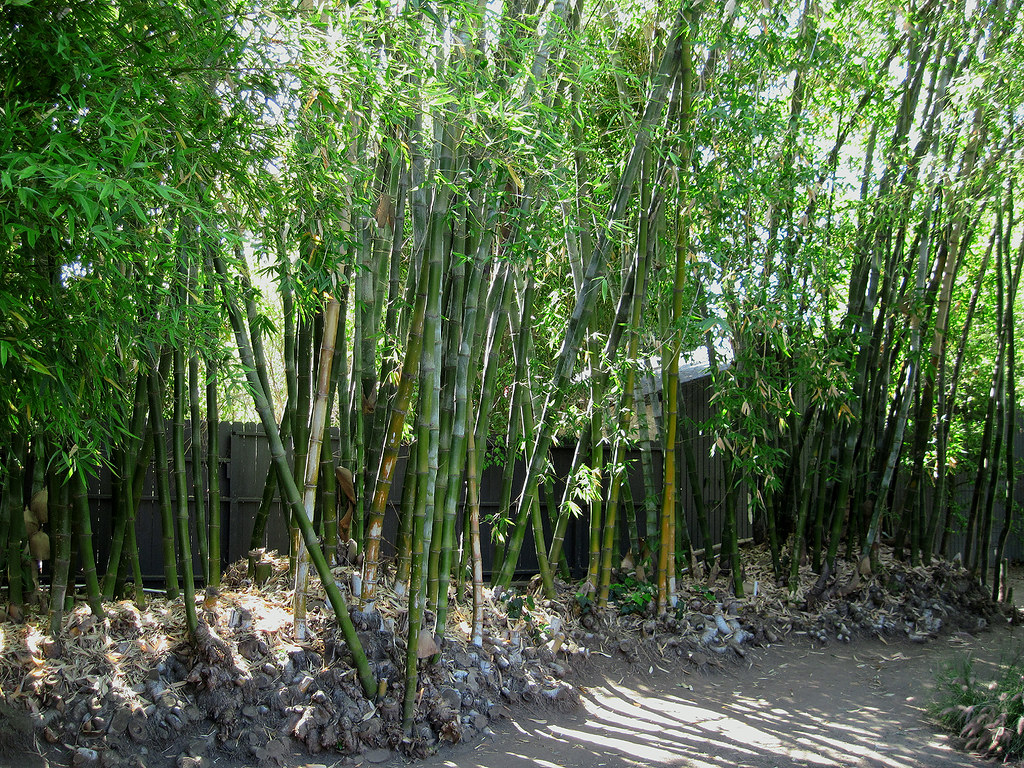 ... Wide Shot Of Bamboo Trees In Backyard Garden At Schindler House   05/30/