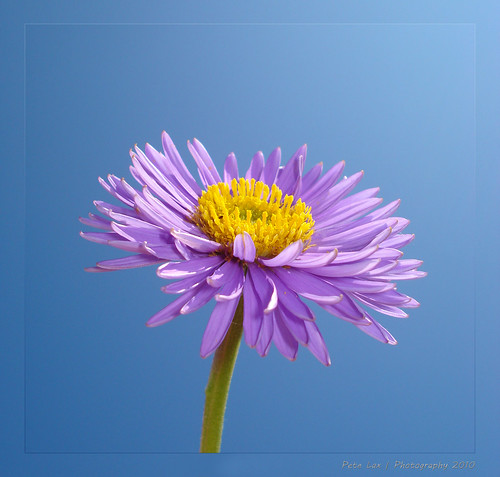 Aster | by pete562