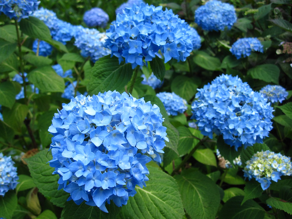 hydrangea 39 endless summer 39 beautiful blue hydrangea. Black Bedroom Furniture Sets. Home Design Ideas