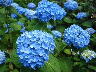 Hydrangea 'Endless Summer' | by Brooklyn Botanic Garden