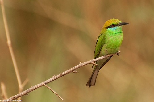 Green Bee Eater | by Radha Rangarajan
