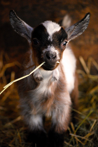 Cute Baby Goat | by tintedglass