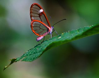 Glass winged butterfly | by Grant and Caroline's pix