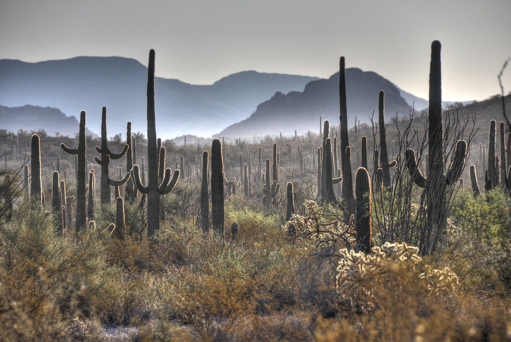 Saguaros in the early morning at Organ Pipe Cactus Nationa ...