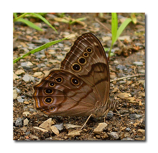 SATYRS BUTTERFLY | by riknran-can