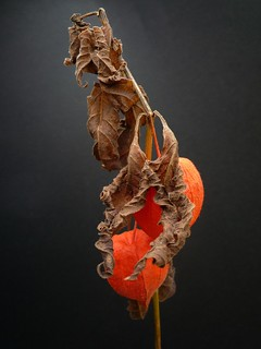 physalis | by peltier patrick