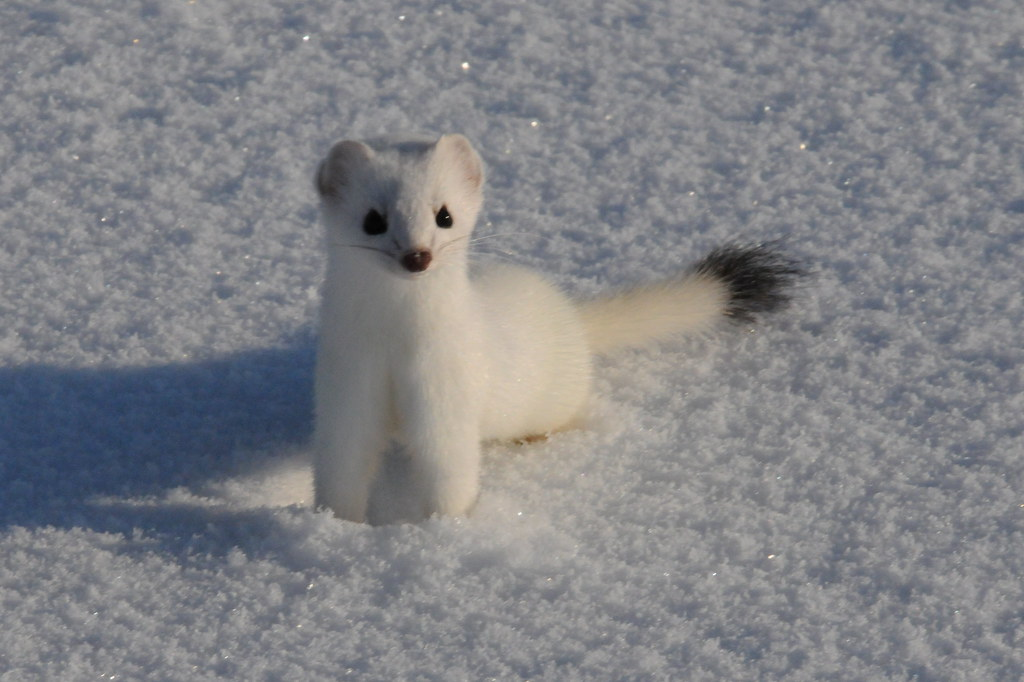 ermine chat For help or advice ask amanda, our online advisor, or call us.