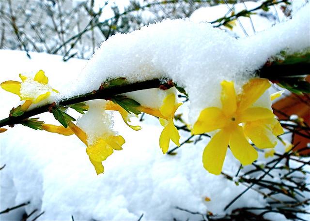 snow on winter jasmine flickr photo sharing
