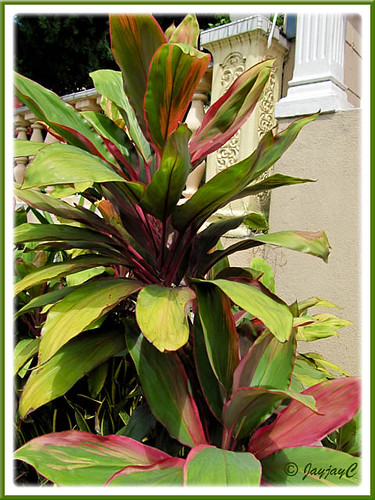 Cordyline terminalis or C. fruticosa (pink/maroon/green), in the neighbourhood | by jayjayc