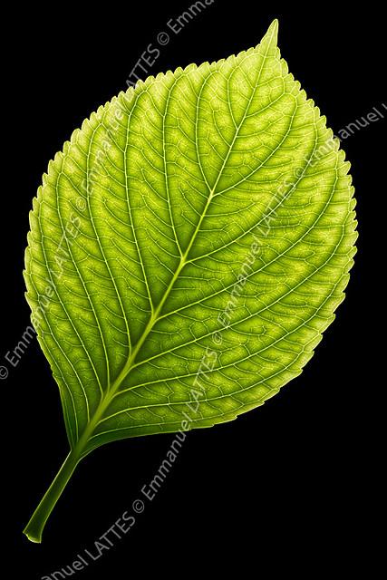 Feuille d 39 hortensia hydrangea macrophylla atteint de chl flickr - Maladie des hortensias photos ...