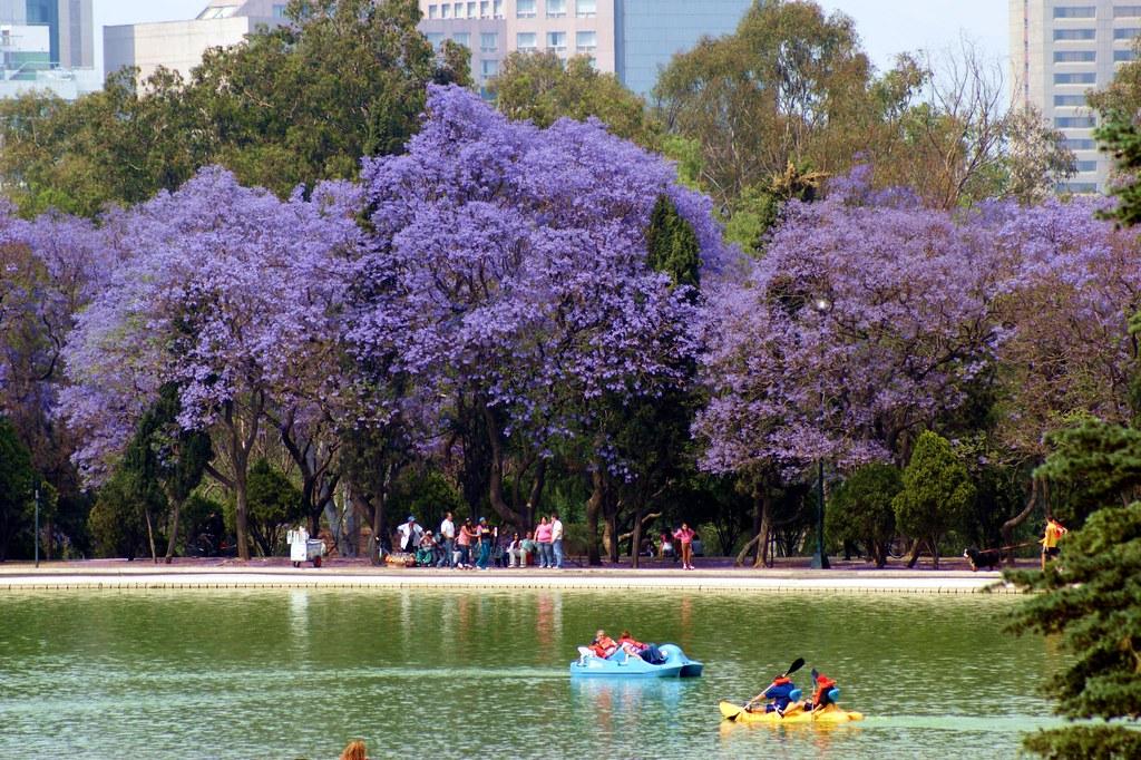 Jacarandas en chapultepec i javier rodr guez pi a flickr - Arbol de pina ...