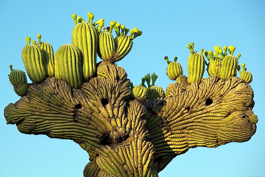 crested saguaro desert botanical garden by al_hikesaz - Desert Botanical Garden Phoenix