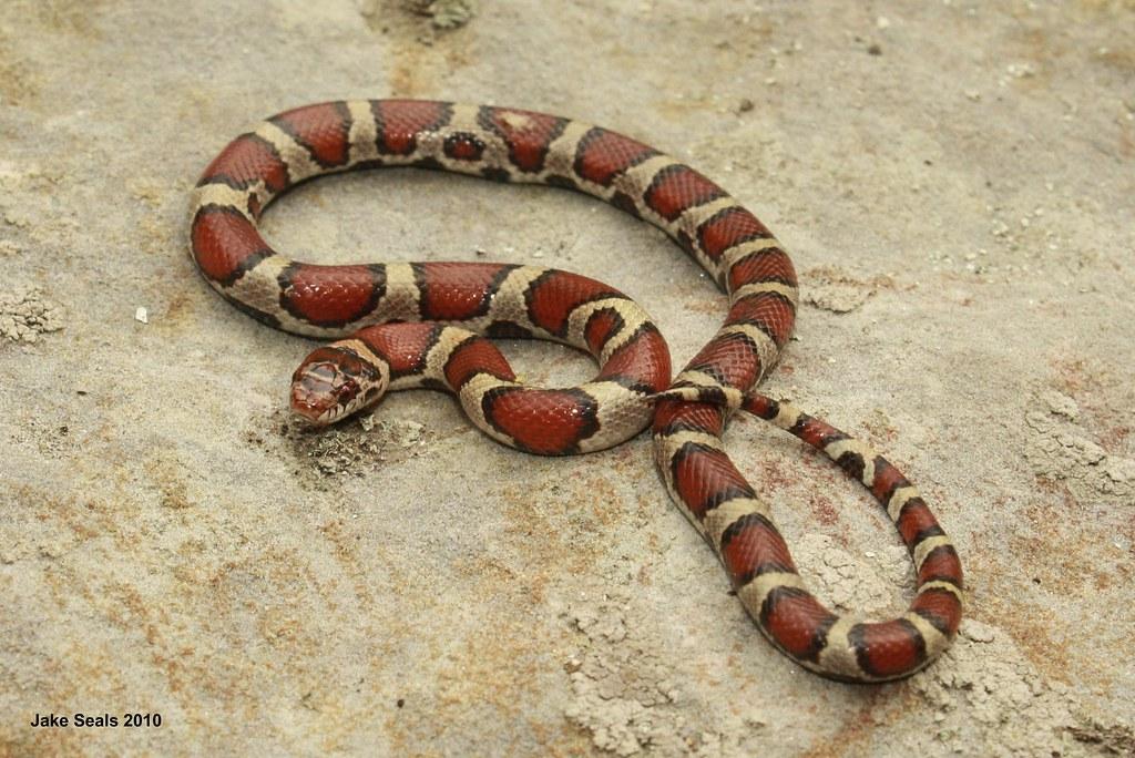 Red Milk Snake (Lampropeltis triangulum syspila ...