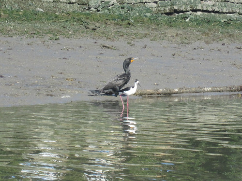 cormorant and black necked stilt | by Liz Henry