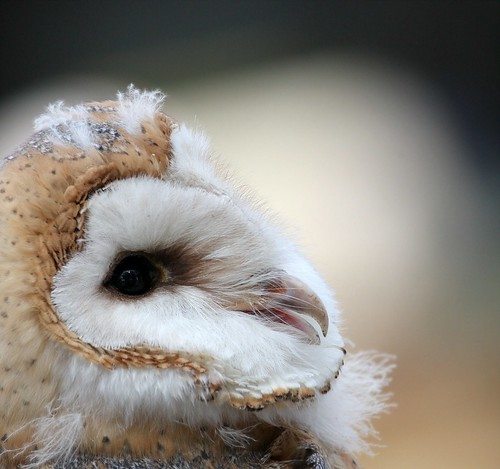 Young Barn Owl | by mattlev12