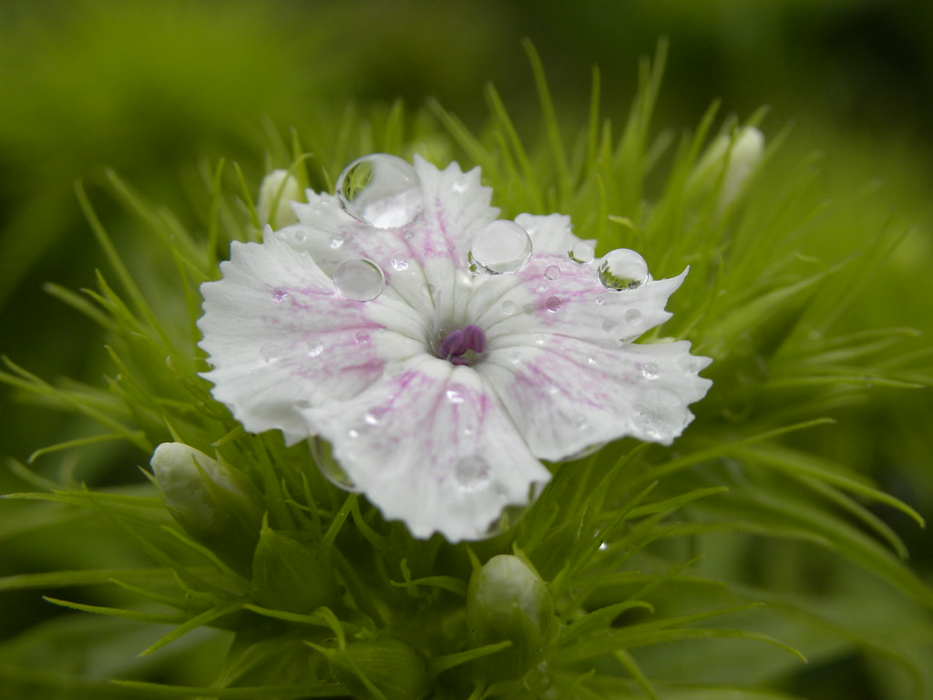 Dianthus barbatus eyelet of the poet illet du po te - Oeillet du poete ...