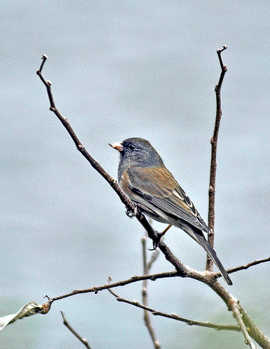 Junco | by Cottonwood Canyon State Park
