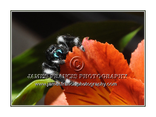 Jumping Spider_Blue fangs | by James Francis Photography