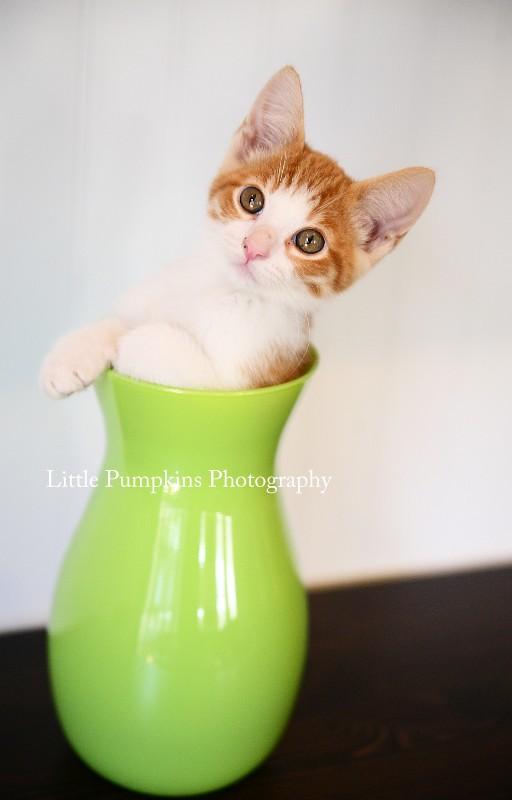 Kitten In Vase Oscar Littlepumpkinsphotography Flickr