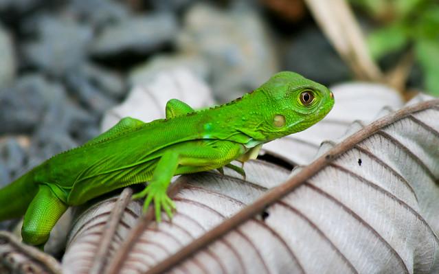 baby green iguana | Flickr - Photo Sharing! - photo#20