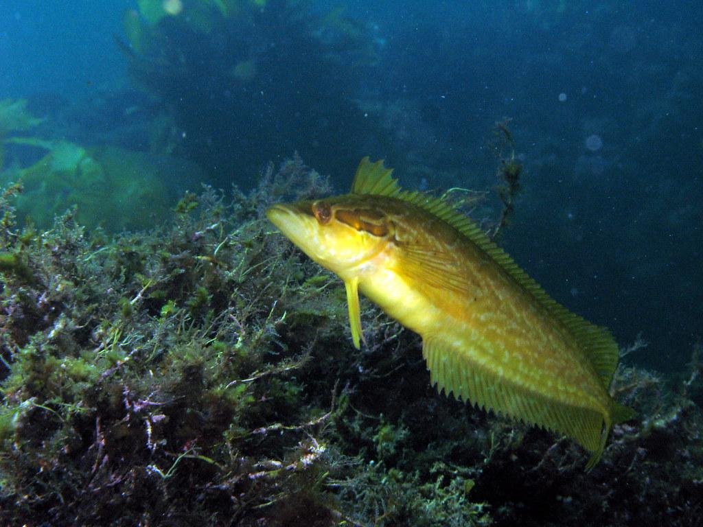 Giant kelpfish Heterostichus rostratus