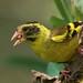 Himalayas: Himalayan Greenfinch