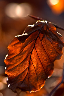 Leaf Bokeh | by Joebelle