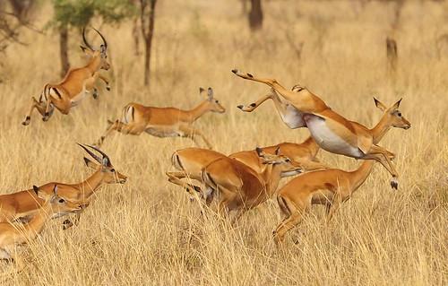 Impala Animal Jumping - photo#20