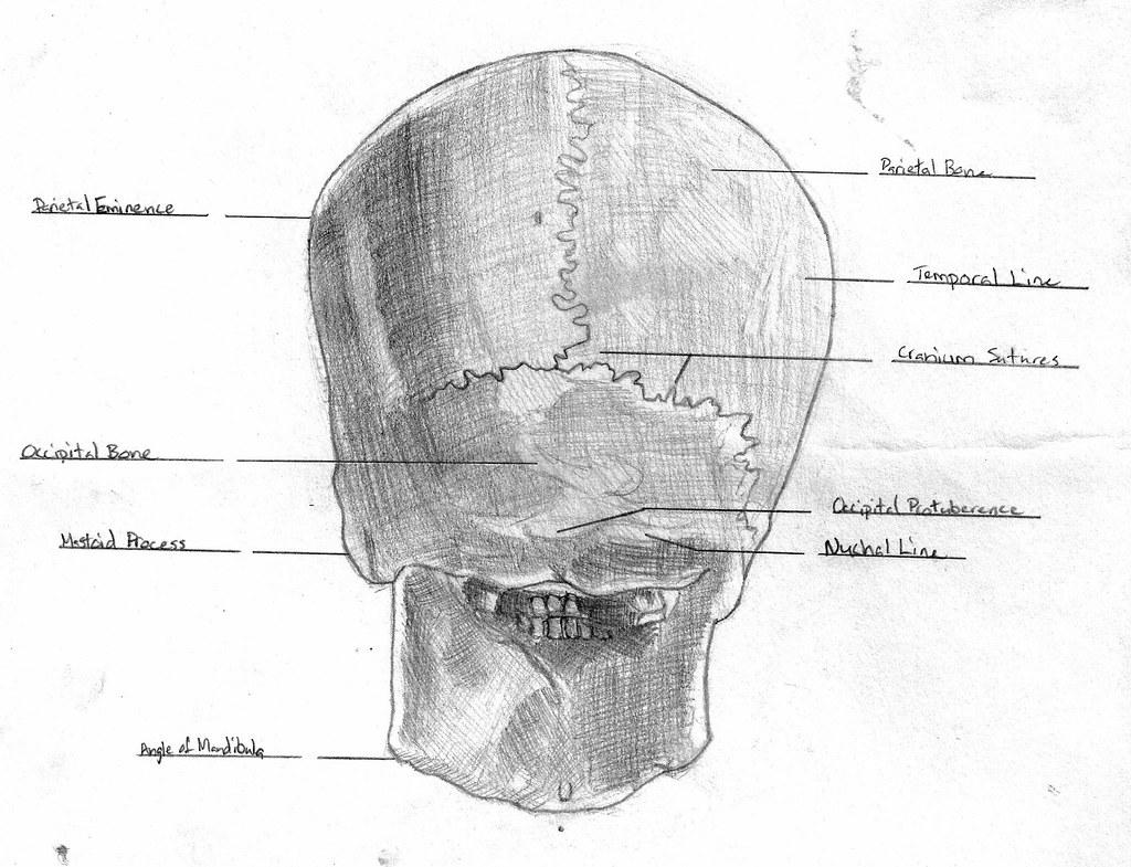 Anatomy: Skull back | Greg Allen | Flickr