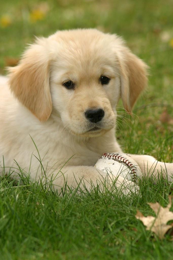 golden retriever puppy with baseball ii rob kleine flickr. Black Bedroom Furniture Sets. Home Design Ideas