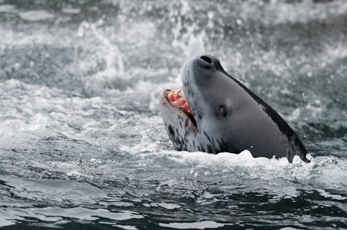 EFD Leopard Seal Attacks Chinstrap Penguin (41 of 43) | Flickr