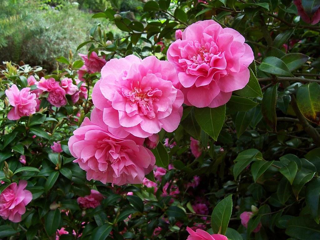 Pink flowers evergreen shrub i enjoy plants simply for th flickr pink flowers evergreen shrub by ambersky235 mightylinksfo