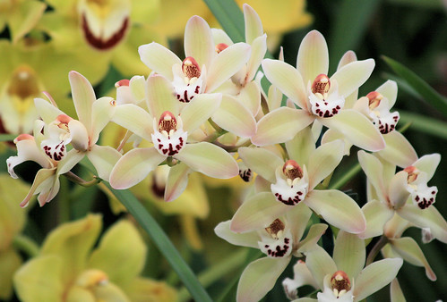 Ground Orchids together with 4493698137 besides Cv Taree Pink in addition 4402676347 in addition 130550398. on all images of cymbidium orchids