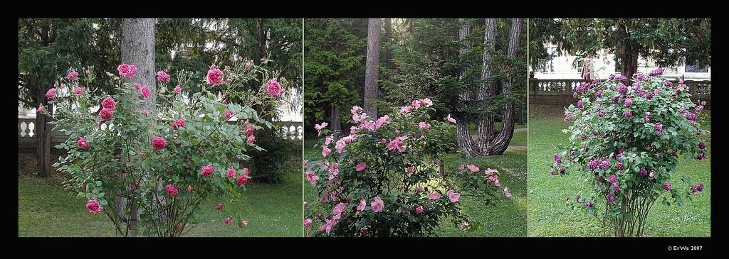 lainzer tiergarten rosen vor hermesvilla rosa toene 2007 flickr. Black Bedroom Furniture Sets. Home Design Ideas
